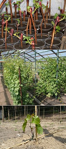 Cultivation of grapes from shanks, ways, the choice of shanks, preparation and processing of shanks, technology of a prorashchivaniye, landing to the greenhouse, councils and recommendations, video