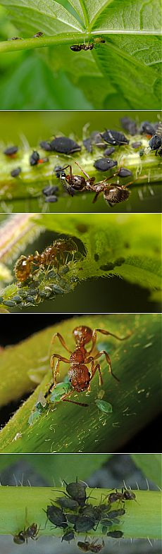 Plant louse and Ant.\u000d\u000a\u000d\u000aWhich of us did not pay attention: it is worth seeing running on a stalk of any plant muravyyov — it is safely possible to assume that in several days the top leaflets all will be entirely covered by a plant louse, will begin to be twisted and be ill … What for strange communication? And whether it is necessary to connect these facts in general?