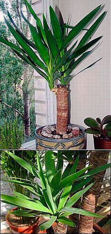 Yucca: leaving and reproduction