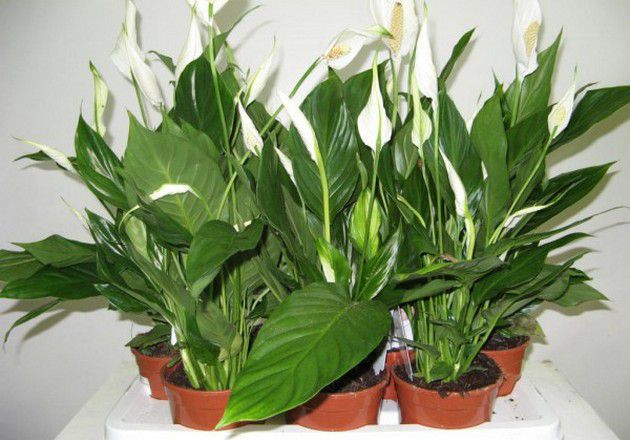 Flower spathiphyllum. Care of a plant. Change and reproduction | Houseplants and cultivated flowers